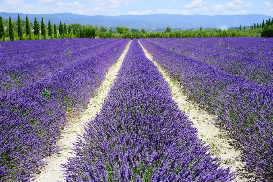 UN champ de lavande en pleine fleuraison